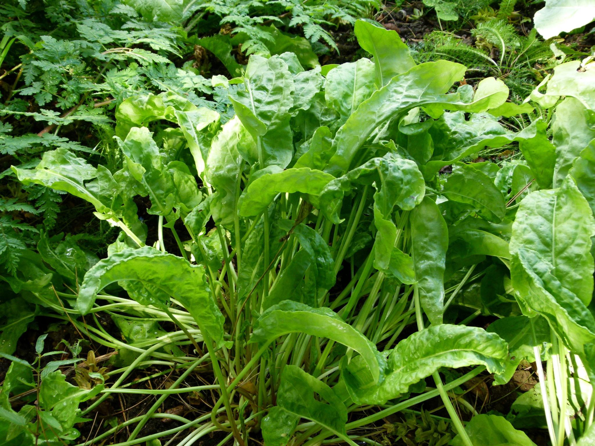 Oxalis acetosella: una pianta dal sapore deciso 1