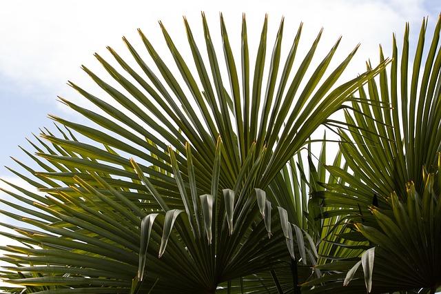 fan-palm-143362_640