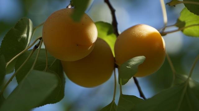 Albicocco delle Rosaceae o Armeniaca vulgaris 2