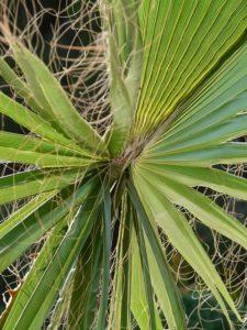 Palma comune