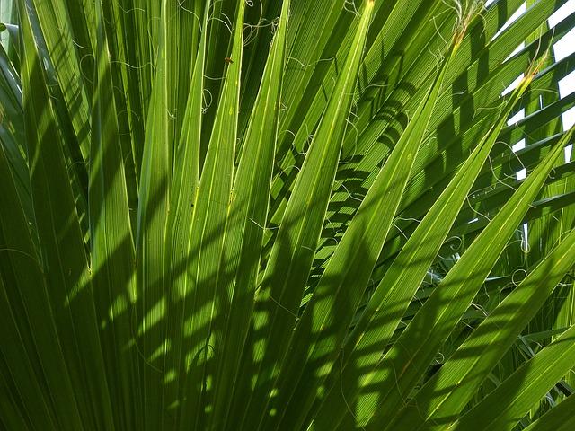 Palma nana la palma di san pietro for Palma di san pietro