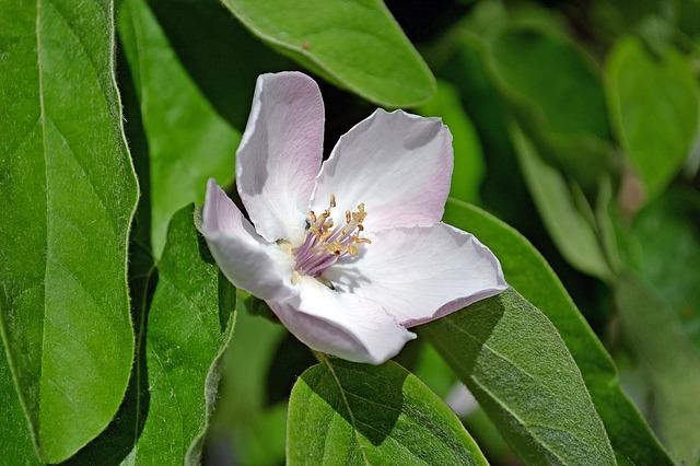 Rosaceae il cotogno del giappone for Pirus pianta