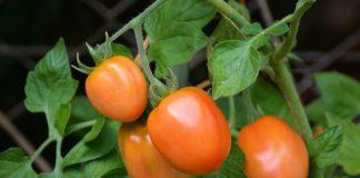 La pianta di pomodoro