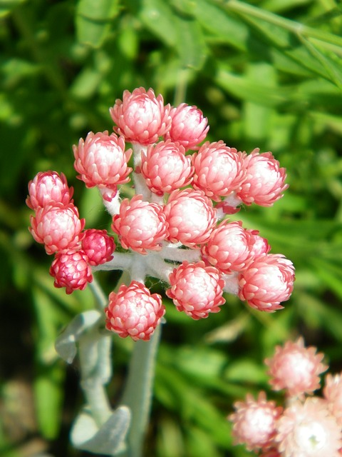 elicriso fiore