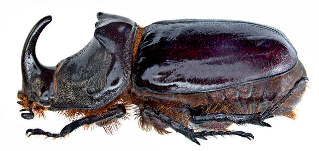 Orycites nasicornis