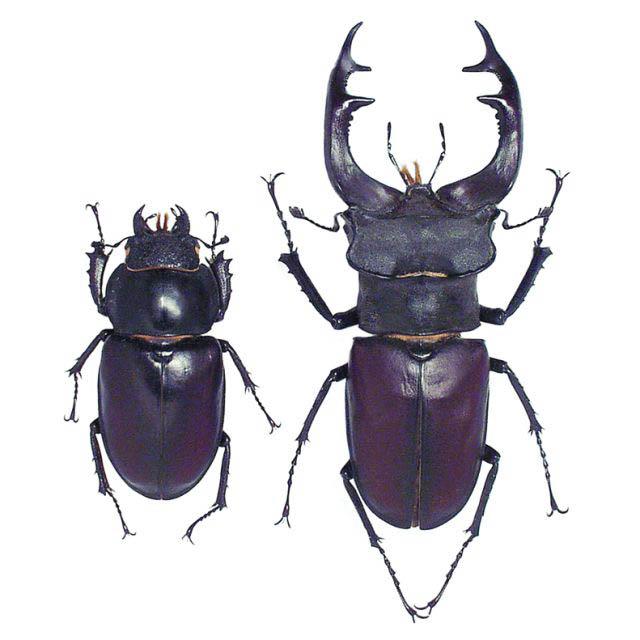 Lucanus cervus