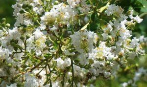 Foto fiori di mirto bianco