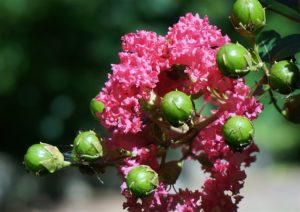 Foto fiori di mirto roseo