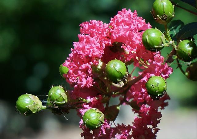 Foto fiori di mirto