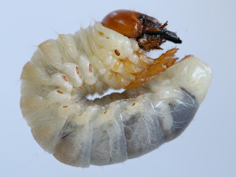 larva Lucanus cervus