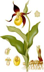 Cypripedium-calceolus