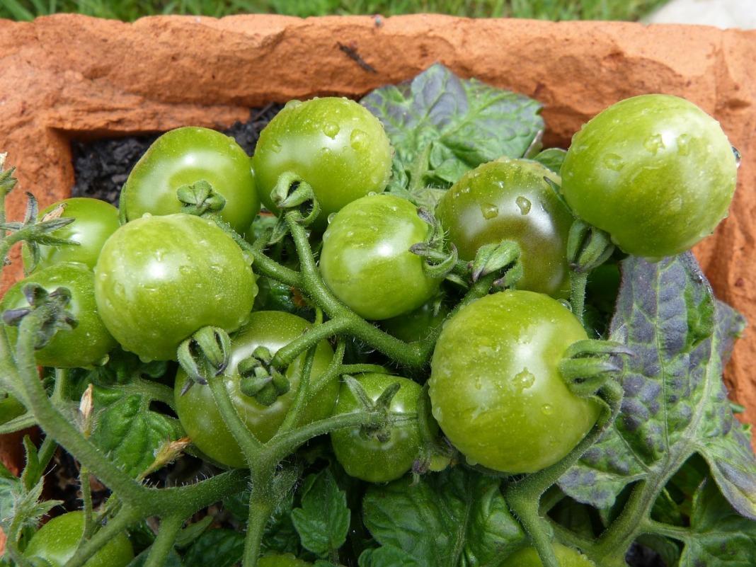 Come Coltivare Pomodori Sul Balcone pomodori sul balcone? ecco come coltivarli e curarli