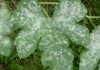 oidio - mal bianco