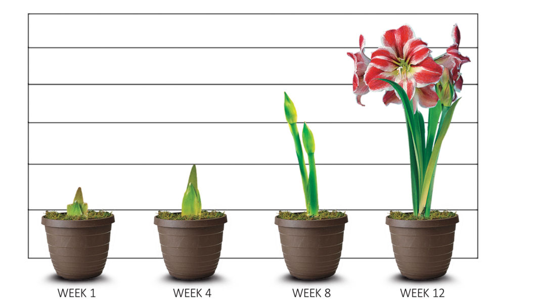 amaryllis-growth-stages-newdates-jan2017
