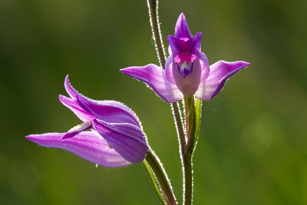 Cephalanthera rubra Elleborina