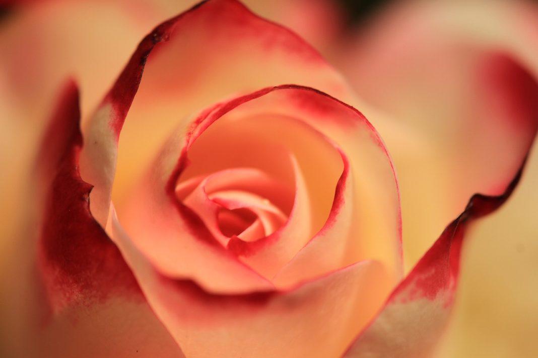 Piante Rose - Tutto quello che devi sapere. 2