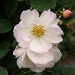 Rosa Penelope