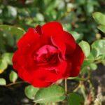 Rosa-Taranga