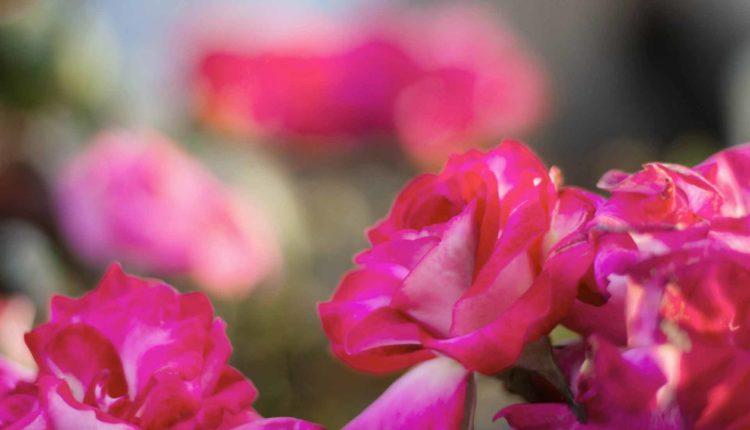 classificazione-rose