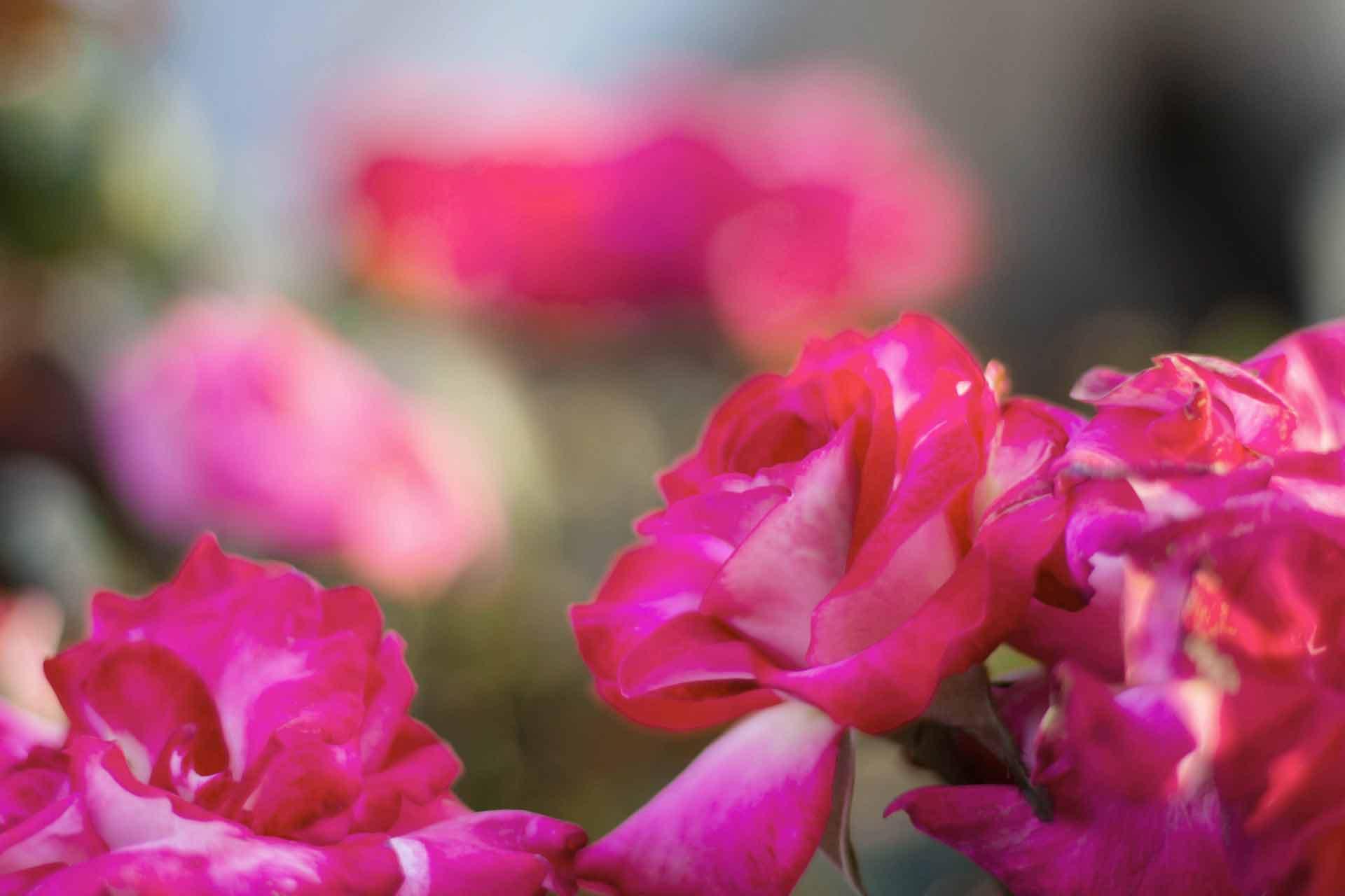Rose Da Taglio Rifiorenti i più importanti ibridatori di rose