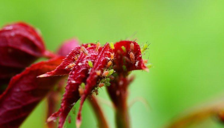 malattie-delle-rose