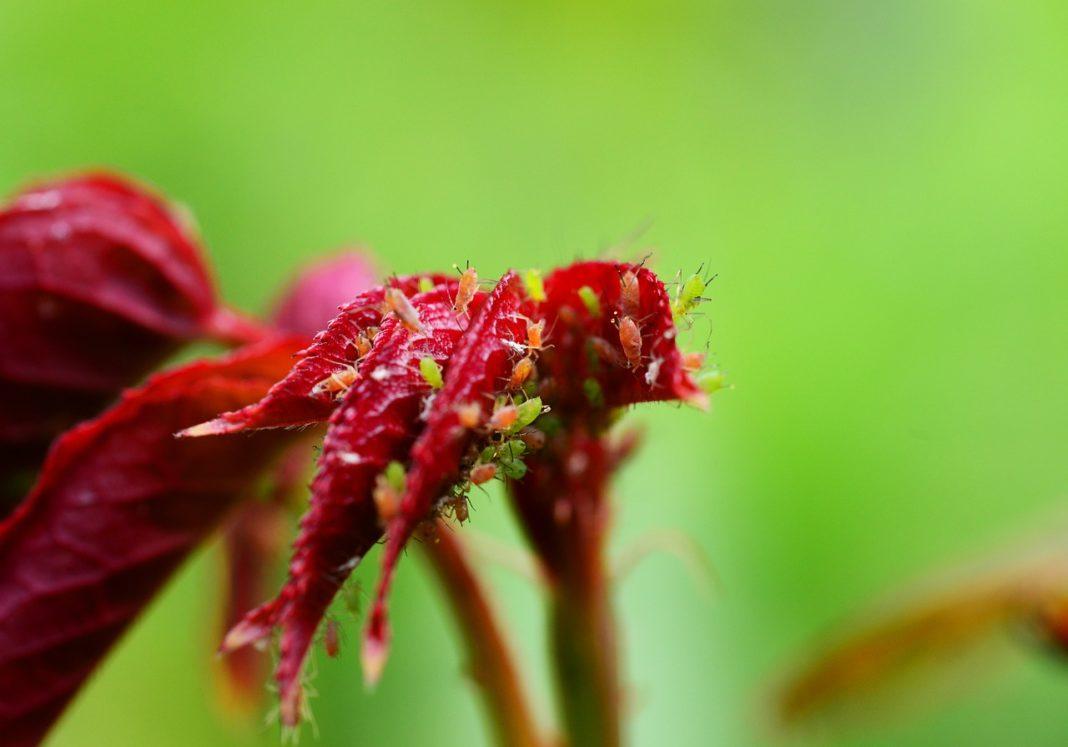 Malattie delle rose e Parassiti 1