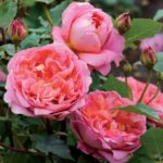 rosa-Soleil-dOr