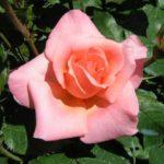 rosa barni