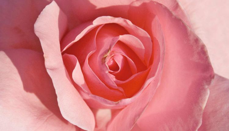 Rosa_The_Queen_Elisabeth_-_Polyantha_02